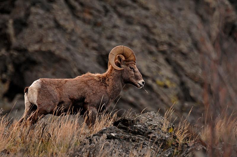 7854 Big Horn Ram