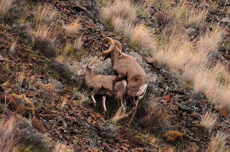 7751 Big Horn Sheep Mating 800x531