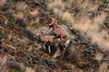 7751 Big Horn Sheep Mating 800x531