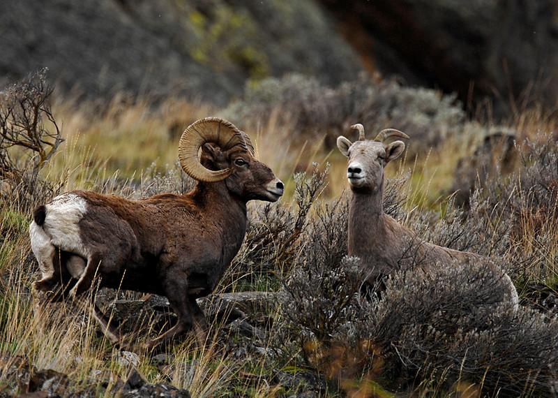 7914 Big Horn Sheep