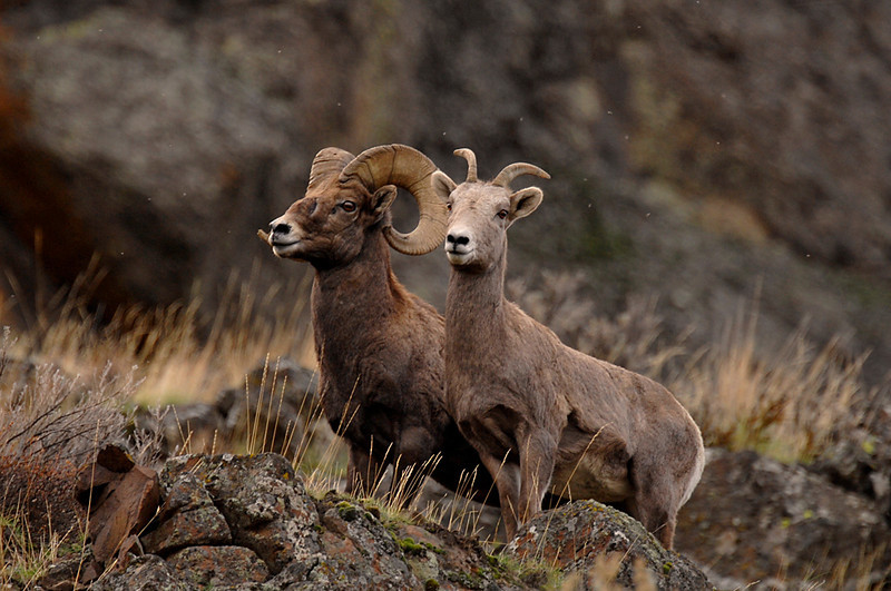 7931 Big Horn Sheep