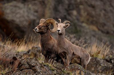 Big Horn Sheep Yakima Canyon Nov 2010