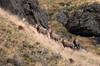 7708 Rams in pursuit of ewe 800x531