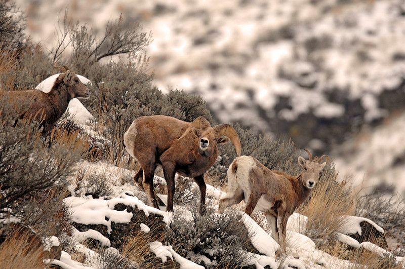 8486 Big Horn Sheep