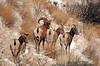 8441 Big Horn sheep