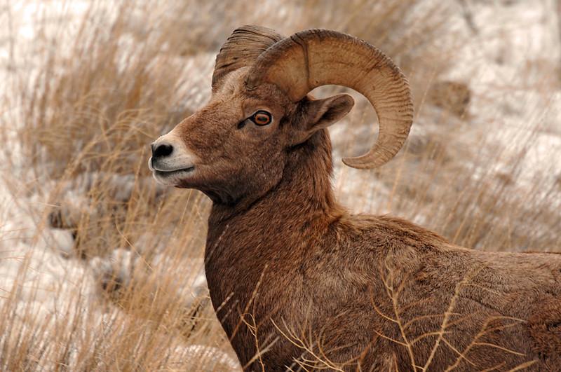 8445 3 year old Ram