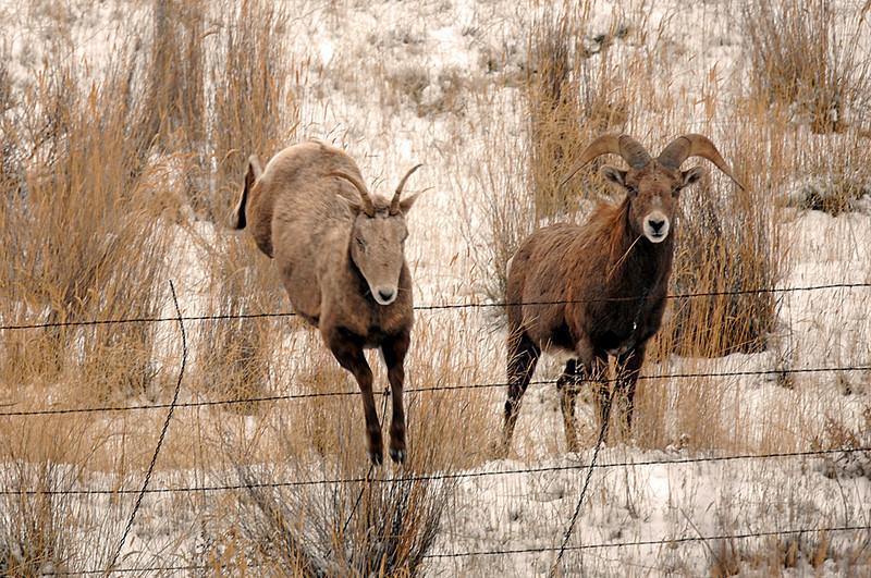 8551 Ewe jumping fence