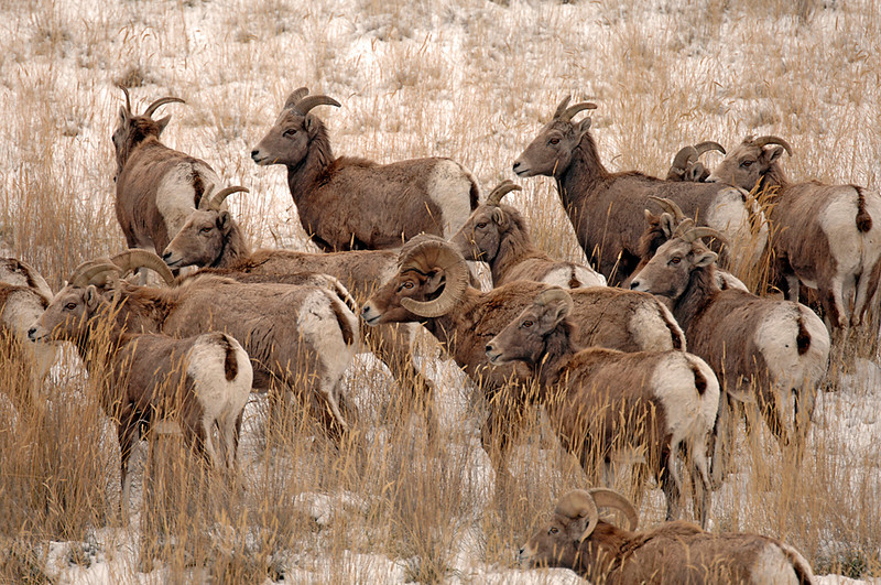 8573 Big Horn Sheep herd