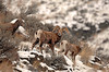 8485 Big Horn Sheep