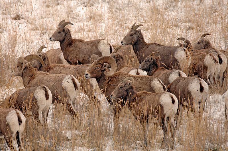 8578 Big Horn Sheep herd