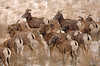 8578 Big Horn Sheep herd