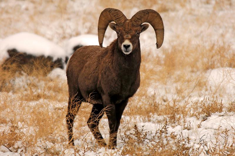 8167 5 Year Old Ram