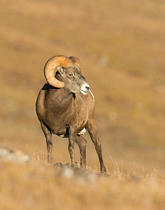 Bighorn Sheep, Rocky Mountain National park, CO