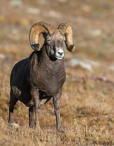 Bighorn Sheep, Rocky Mountain National Park, CO