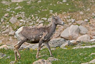 Big Horn Sheep Ewe, Mt. Evans, CO