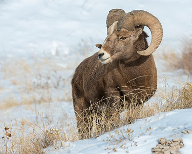 Bighorn Sheep, Badlands National Park, SD