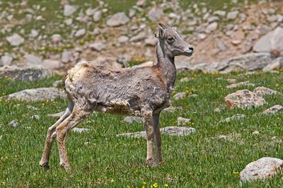 Big Horn Sheep Lamb, Mt. Evans, CO