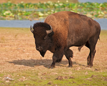 Bison, Wichita Mountains National Wildlife Refuge, OK