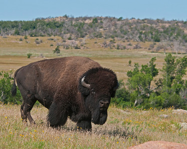 Bison, Wichta Mountains Wildlife Refuge, OK