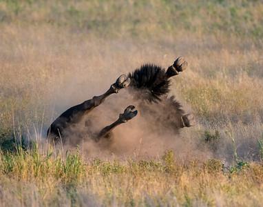 Bison, Wichita Mountains National Wildlife Refuge