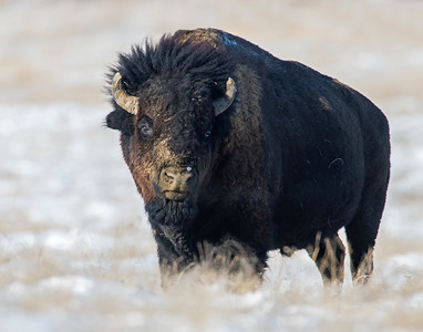 Bison, Badlands National Park, SD