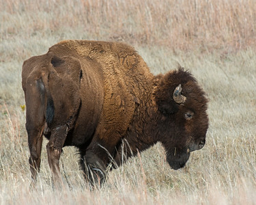 Bison (with injured leg), Wichita Mountains Wildlife Refuge, OK