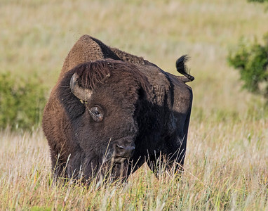 Bison, Wichita Mountains National Wildlife Refuge
