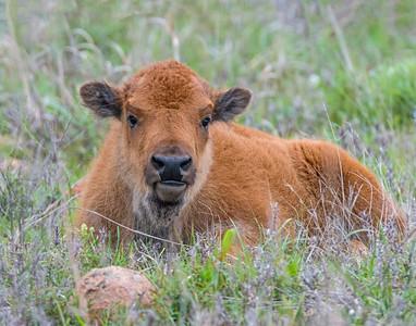 Bison, Wichita Mountains National Wildlife Refuge, OK