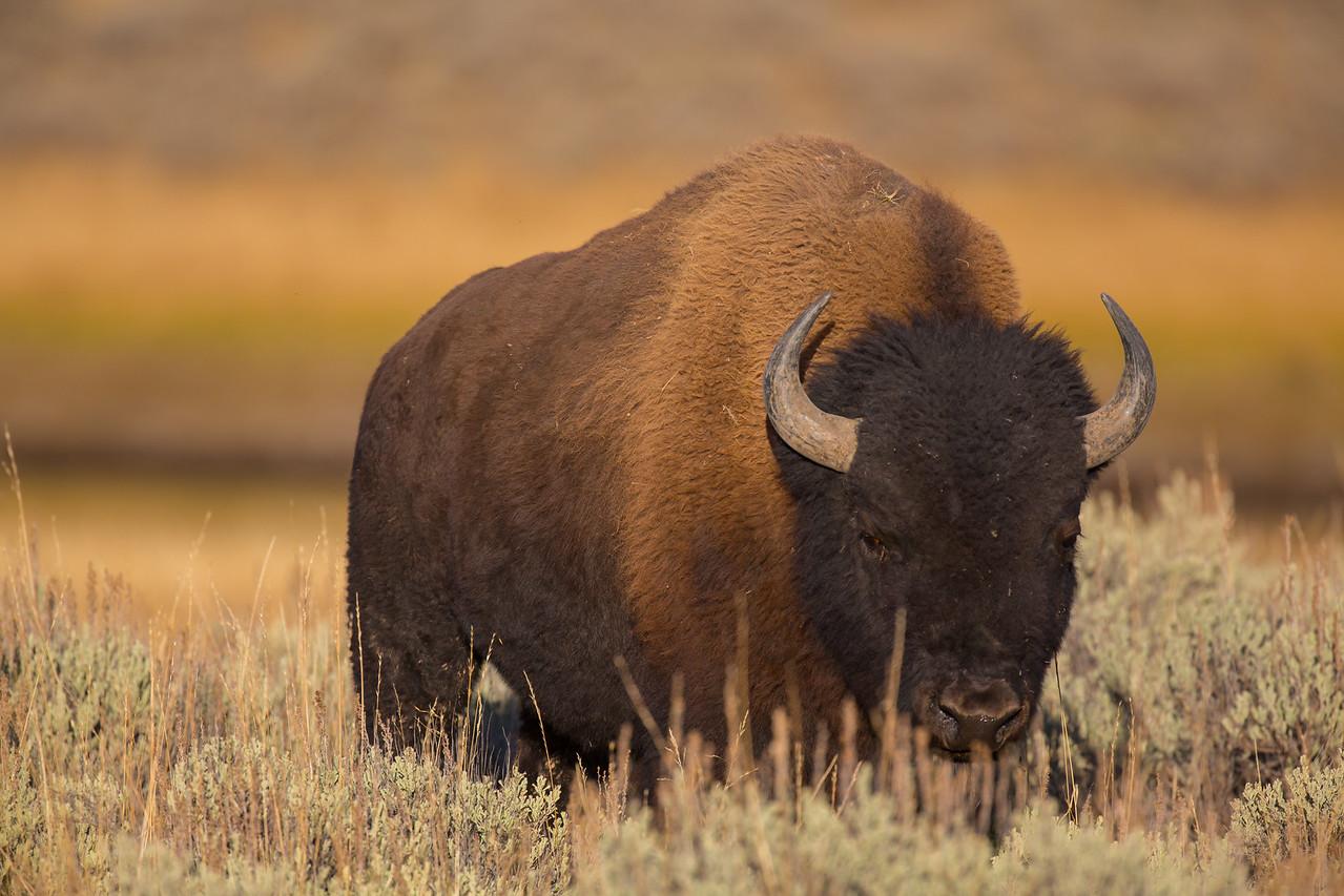 Big ole Bison!
