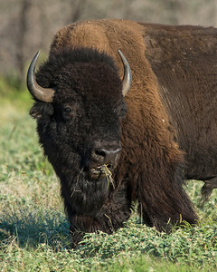 Bison, Wichita Mountains Wildlife Refuge, OK