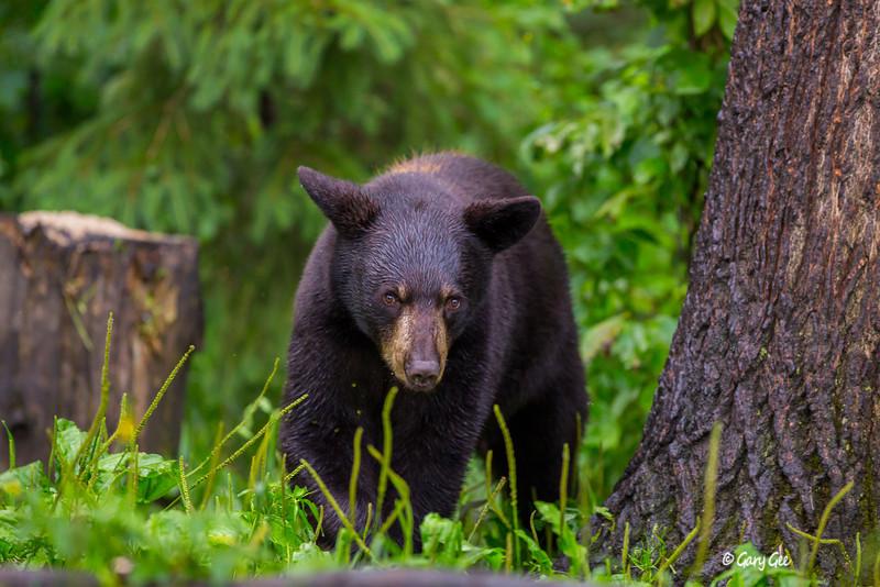 Black Bear_108-1