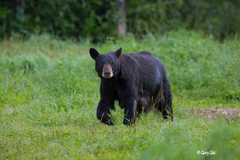 Black Bear_43-1