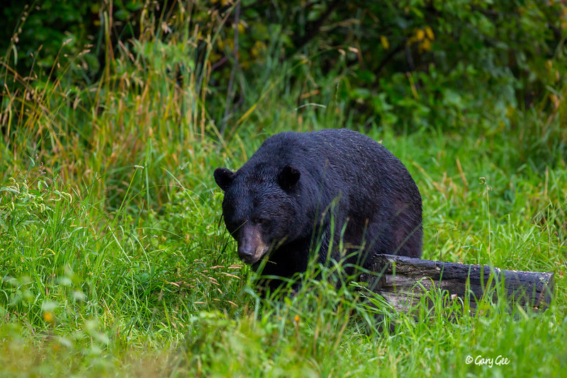 Black Bear_101-1