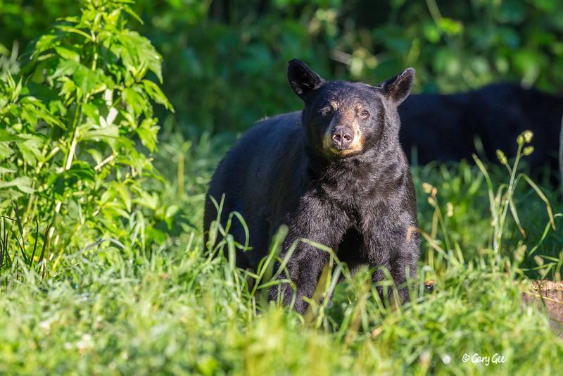 Black Bear_48-1