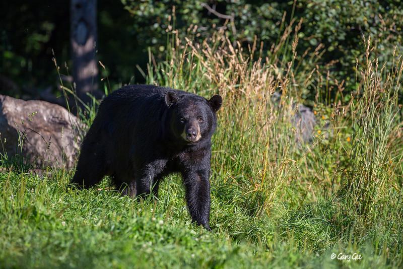 Black Bear_54-1