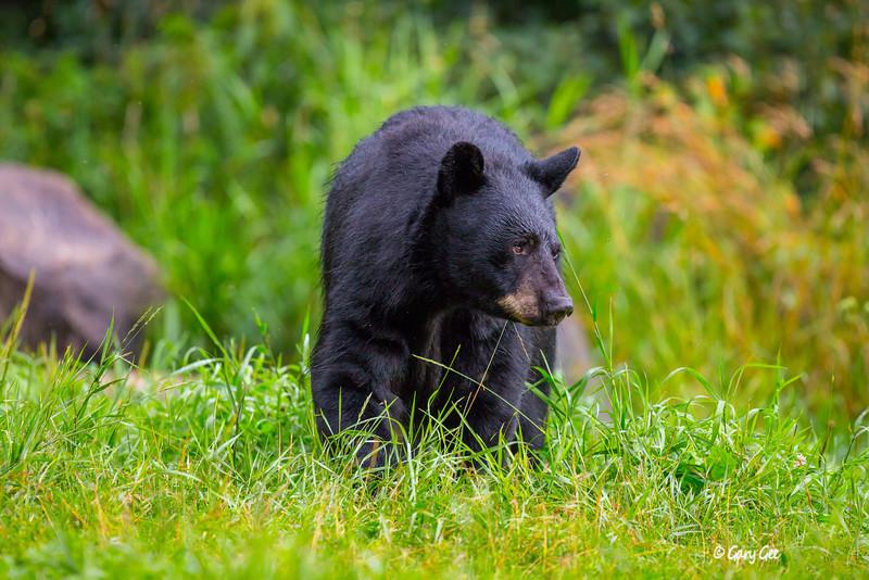 Black Bear_73-1