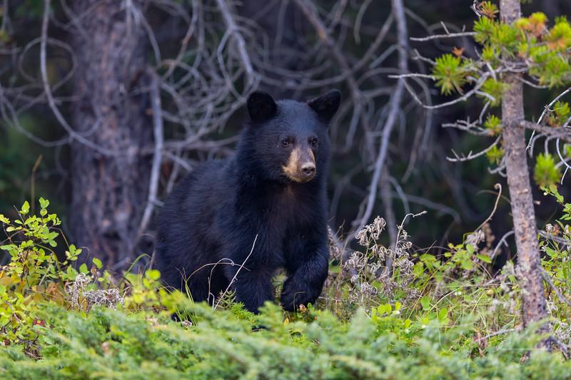 Black Bear Cub - Alberta Canada