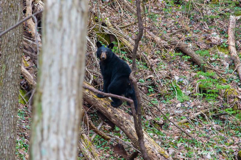 Black Bear-11