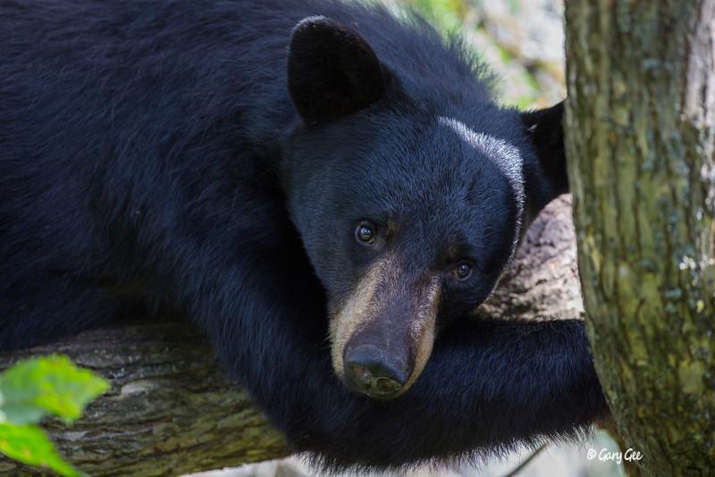 Black Bear_59-1