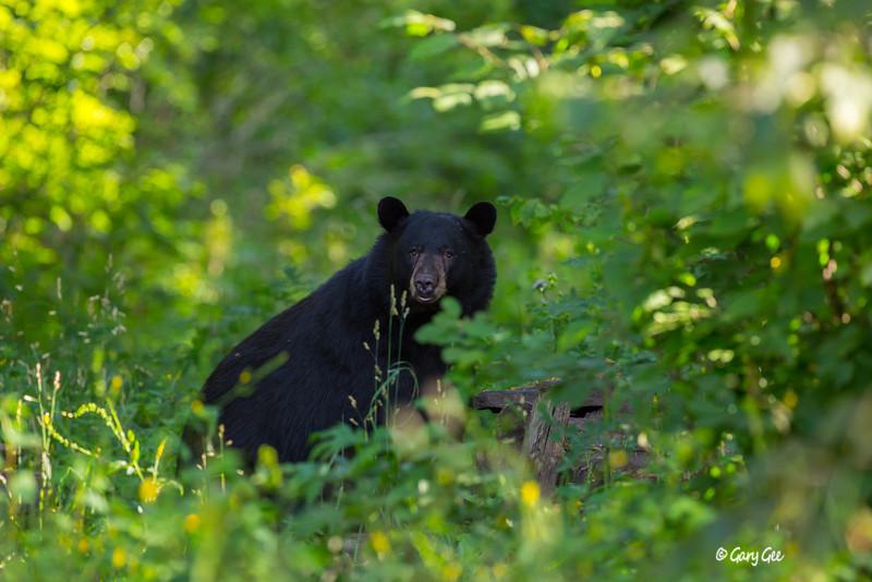Black Bear_60-1