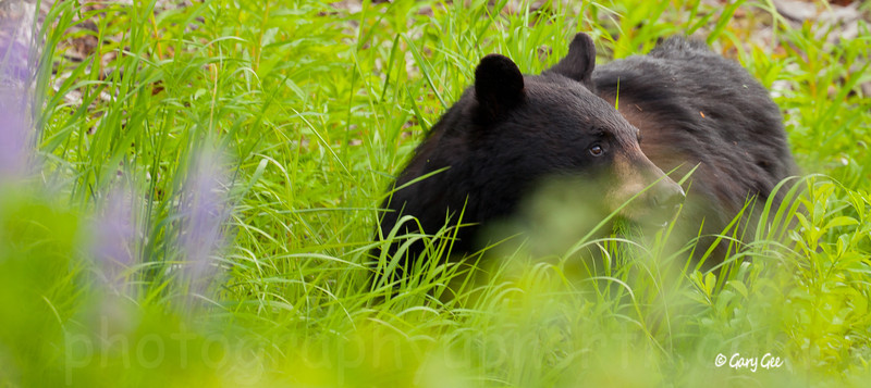Black Bear finding the grasses in the lupine very tasty!