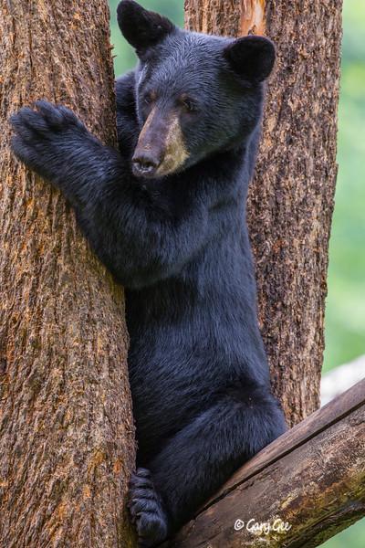 Black Bear_127-1