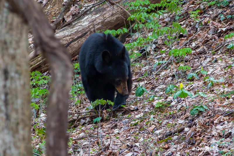 Black Bear-6