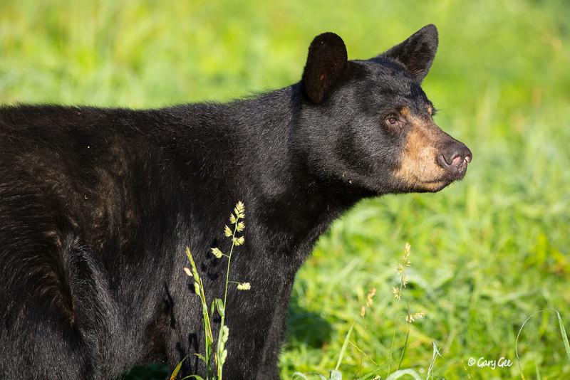 Black Bear_47-1