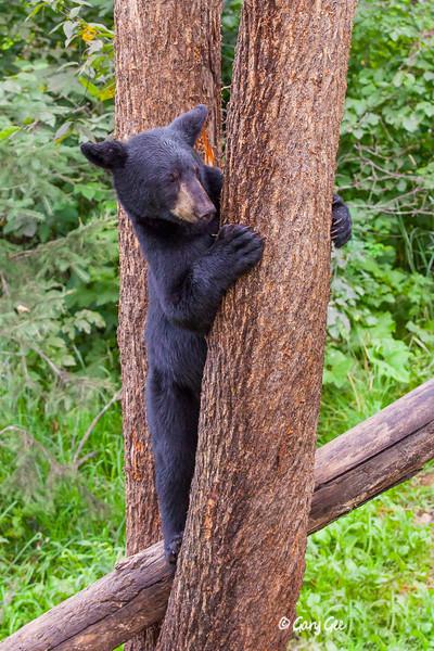 Black Bear_134-1