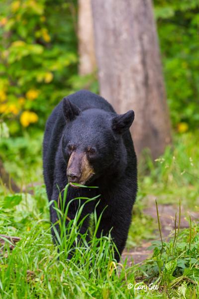 Black Bear_142-1