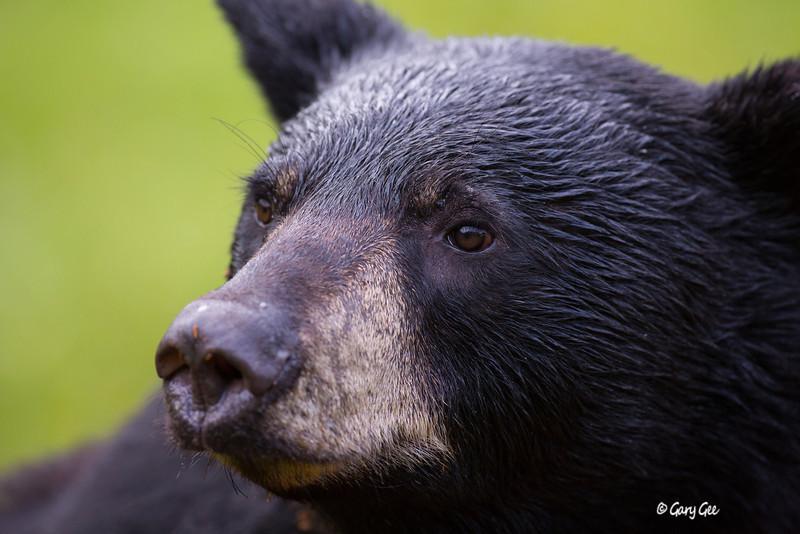 Black Bear_105-1