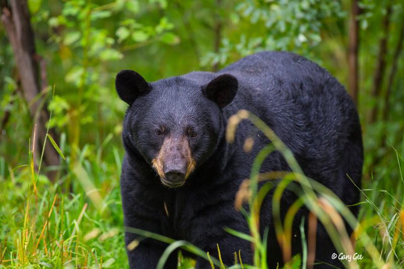 Black Bear_111-1