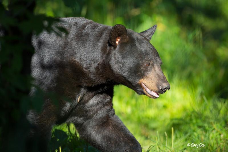 Black Bear_28-1