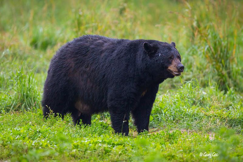 Black Bear_67-1